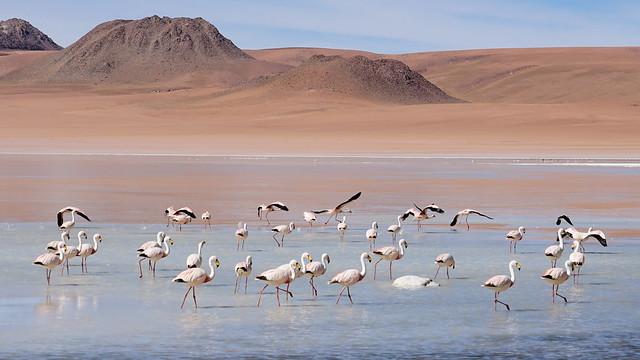 The flamingos ring