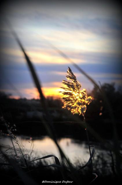 Quand le soleil allume les roseaux