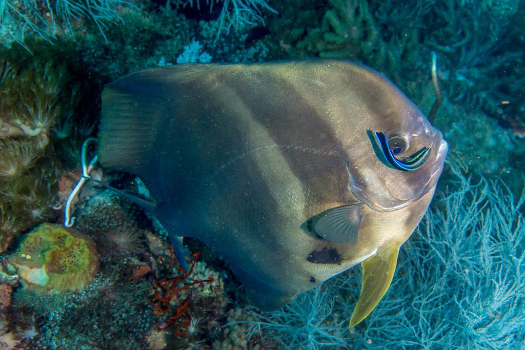 Batfish (Circular Spadefish?) being cleaned