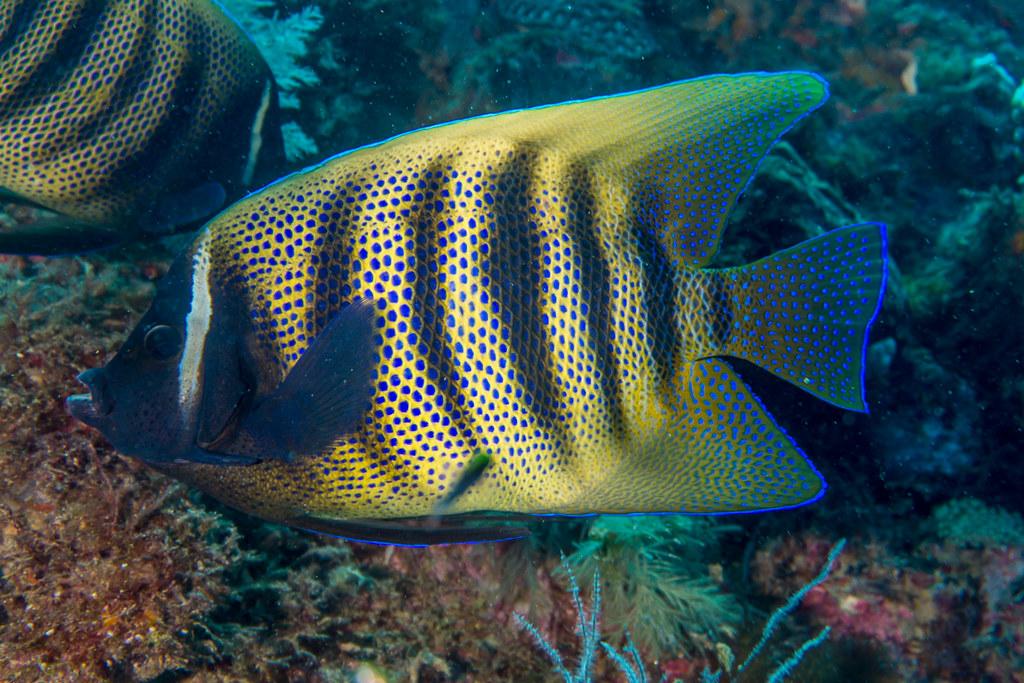 Sixbar Angelfish, Pomacanthus sextriatus