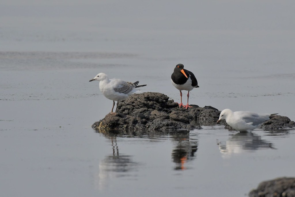 Pied Oystercatcher  and friends