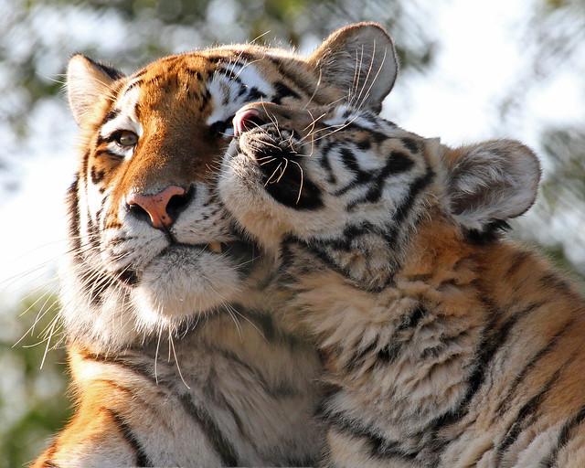 Amur Tiger and Cub