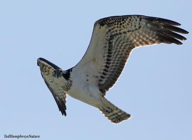 Osprey stare over lagoon at El Hondo today
