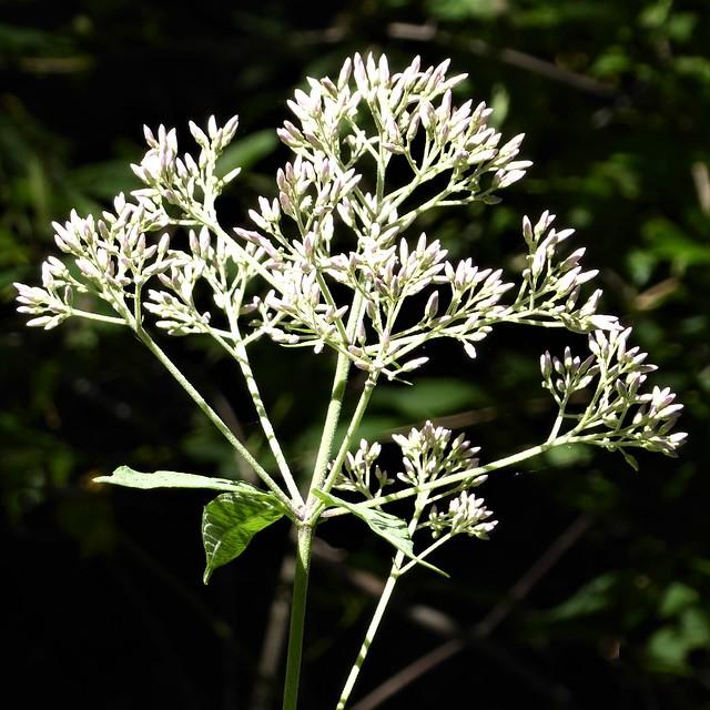 Wheaton, IL, Herrick Lake Forest Preserve, Flower Buds