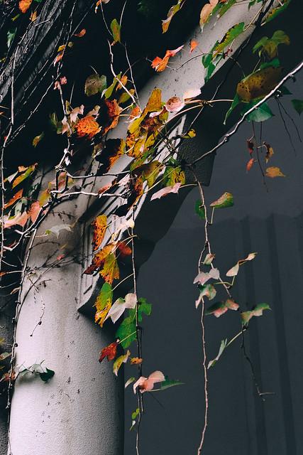 The creeper in deep Autumn