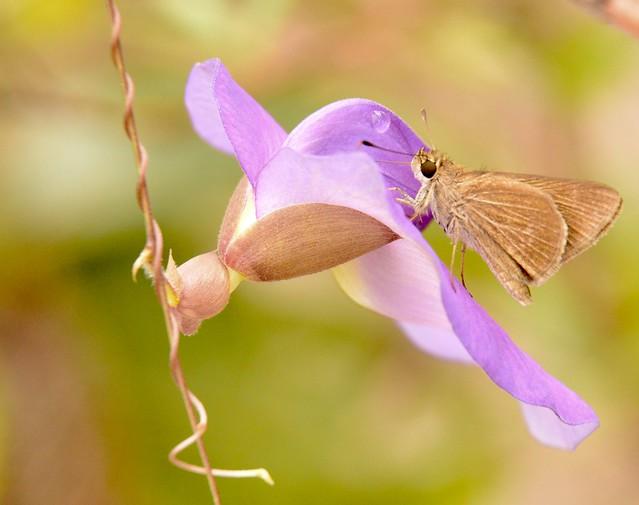 Copaeodes jean favor e a Centrosema virginianum
