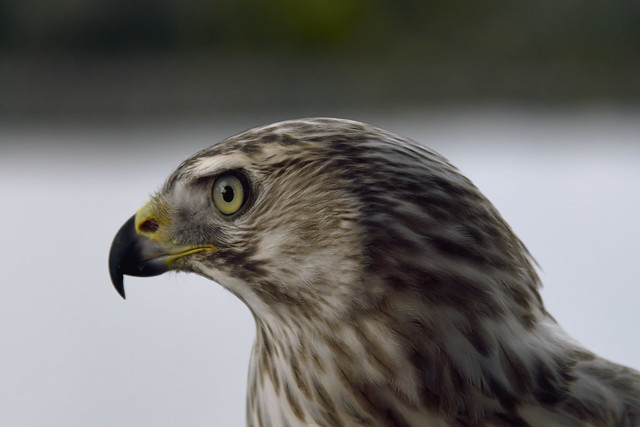White Siberian Goshawk (Accipiter Gentilis Albidus)  (Selected by GETTY IMAGES)