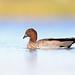 Maned Duck male (Chenonetta jubata)