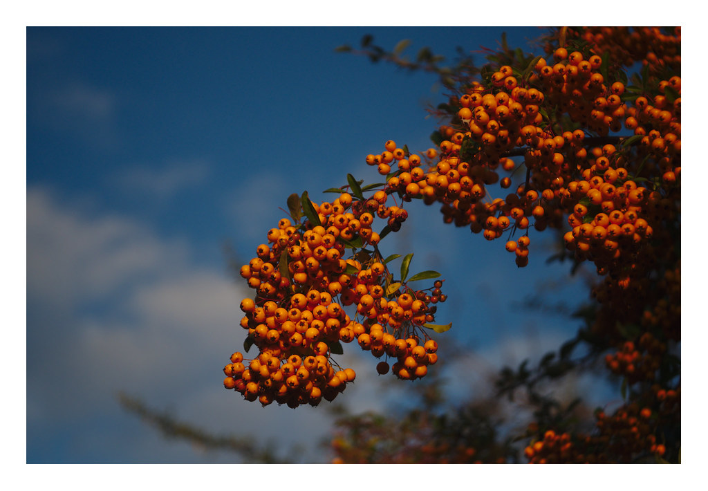 Orange berries and blue sky