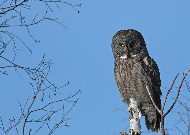 Great gray owl...#29