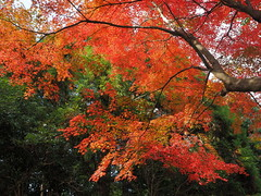 Autumn maple leaves at Takano Park