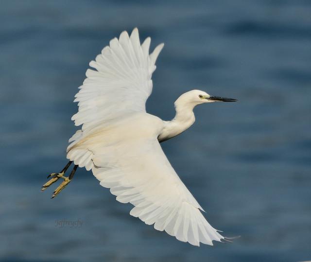 小白鷺, Little Egret, Egretta garzetta,