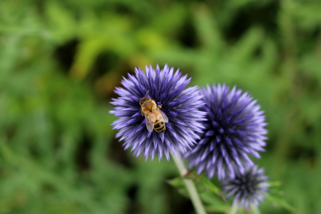 Echinops Flower Heads with Bee, Cambridge Botanic Gardens, 13th July 2019