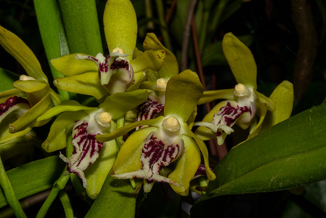 Vanda cristata  (Orchidee)