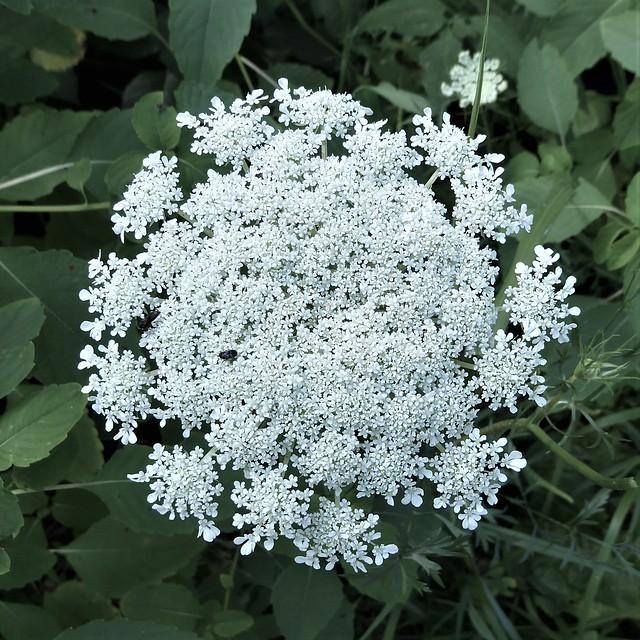 Wheaton, IL, Herrick Lake Forest Preserve, Queen Anne's Lace Flower