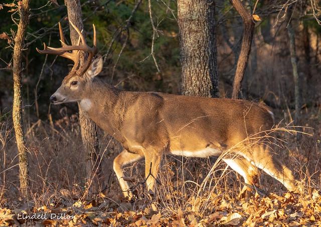 Golden hour in the deer woods