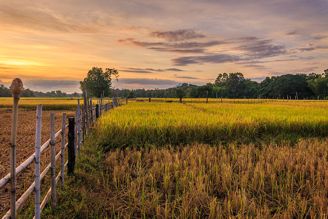 The rice fields on Don Kho island at sunset .