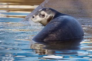 Bearded Seal, Shetland, Nov 2019