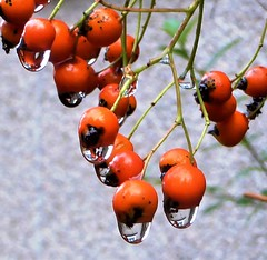 Pyracantha berries are dripping wet