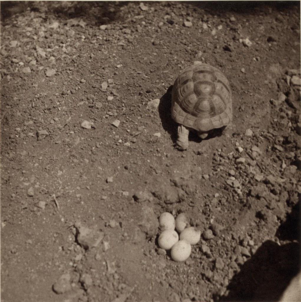 10. 18 мая. Иерусалим. Черепаха откладывает яйца