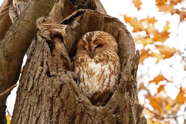 Tawny owl - Christchurch park Ipswich