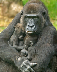 Mother gorilla with her twins