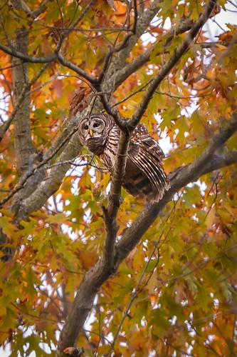 owl barredowl ashburn ashburnva virginia tree sky foliage fall nature davehallock hallock nikon z6 nikonz6 tamron7020028g2 tamron g2 bird feathers wild beak