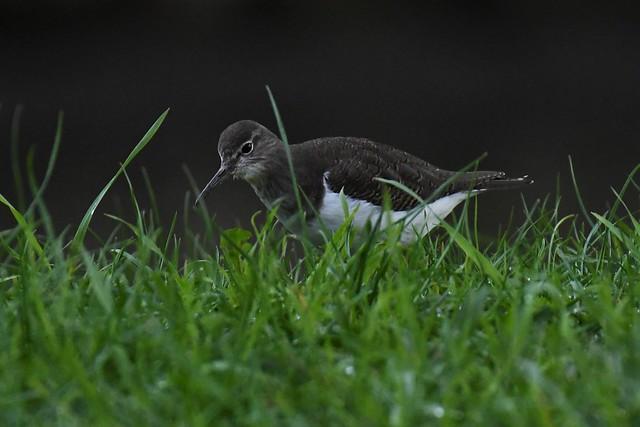 Chevalier guignette - Actitis hypoleucos - Common sandpiper