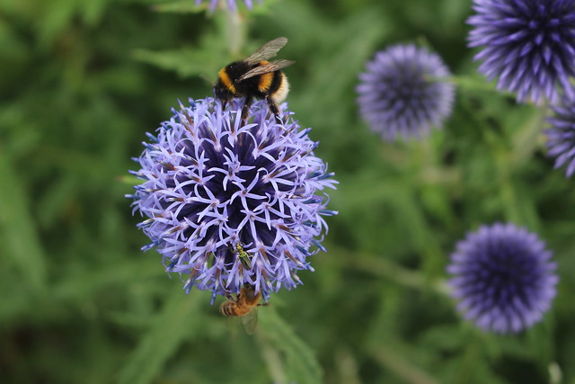 Echinops Flower Head with Bee, Cambridge Botanic Gardens, 13th July 2019 (2)