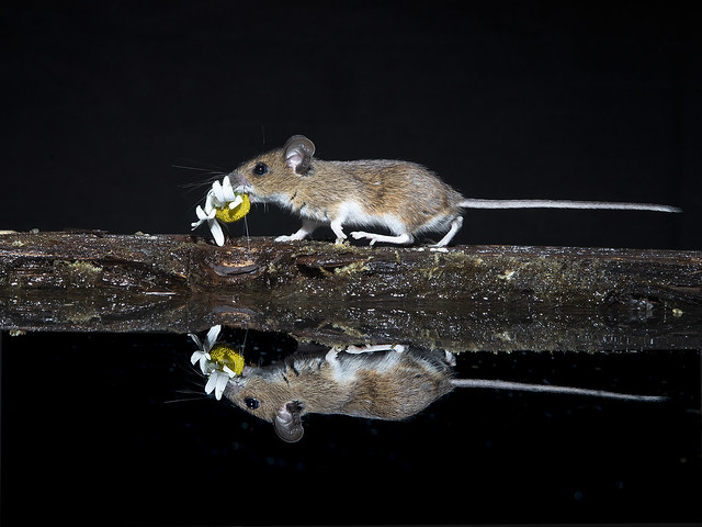 Wood mouse reflection.