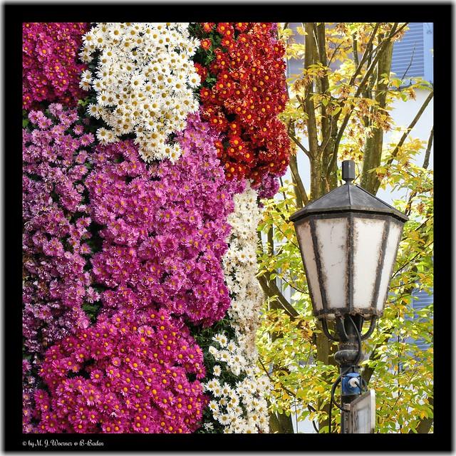 Chrysanthema 2019 / 14