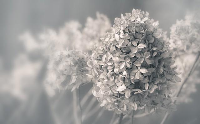 fleurs mortes / Dead flowers