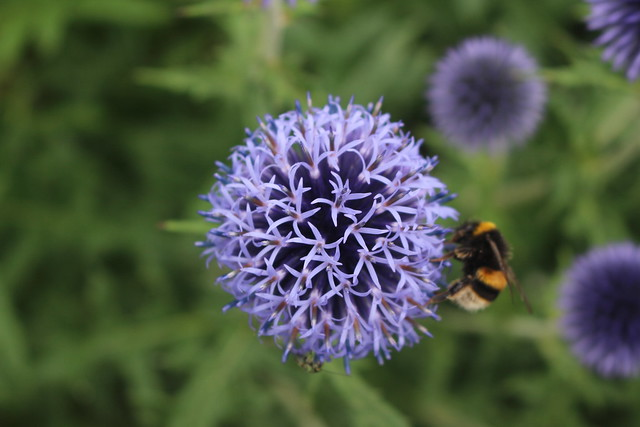 Echinops Flower Head with Bee, Cambridge Botanic Gardens, 13th July 2019 (1)