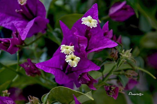 16_Buganvilla púrpura
