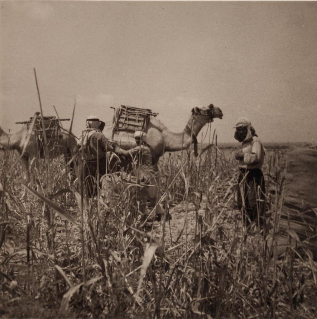 29. 1 августа. Сбор урожая дурры, загрузка верблюдов