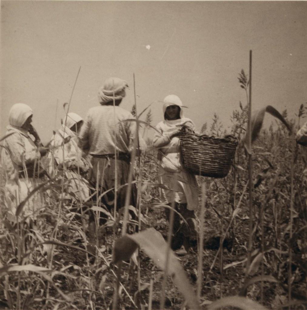 28. 1 августа. Сбор урожая дурры