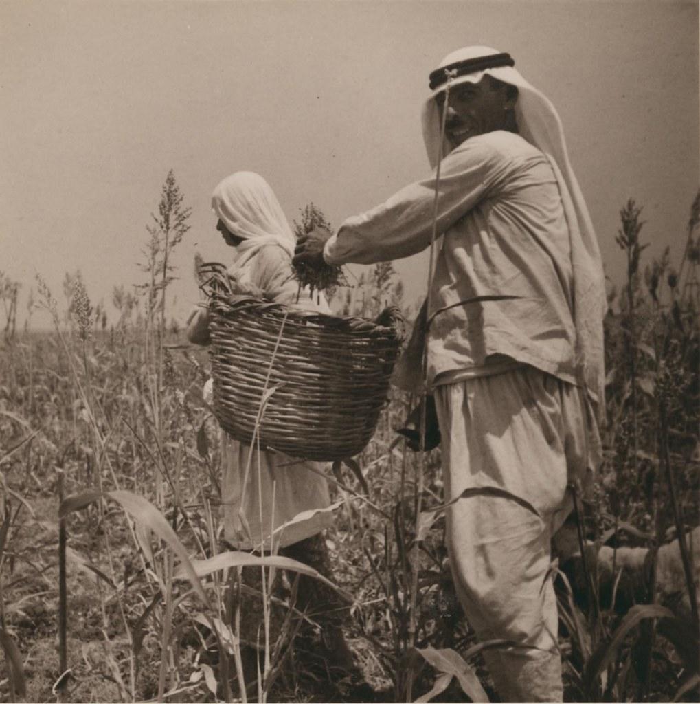 27. 1 августа. Сбор урожая дурры (хлебное сорго)