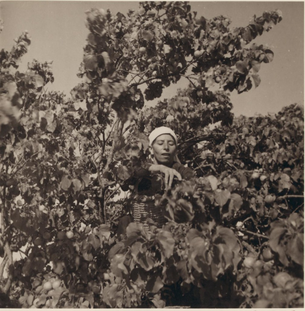 13. 15 июня. Сбор абрикосов в Бейт-Джале