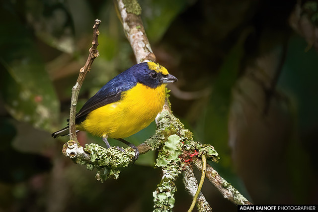 Thick Billed Euphonia Entreaguas Ibague Tolima Colombia