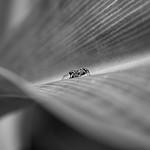 Di, 15.10.19 - 03:33 - Jumping spider, Singapore Botanical Garden  Handheld Olympus 60 F2.8 fantastic macro lens
