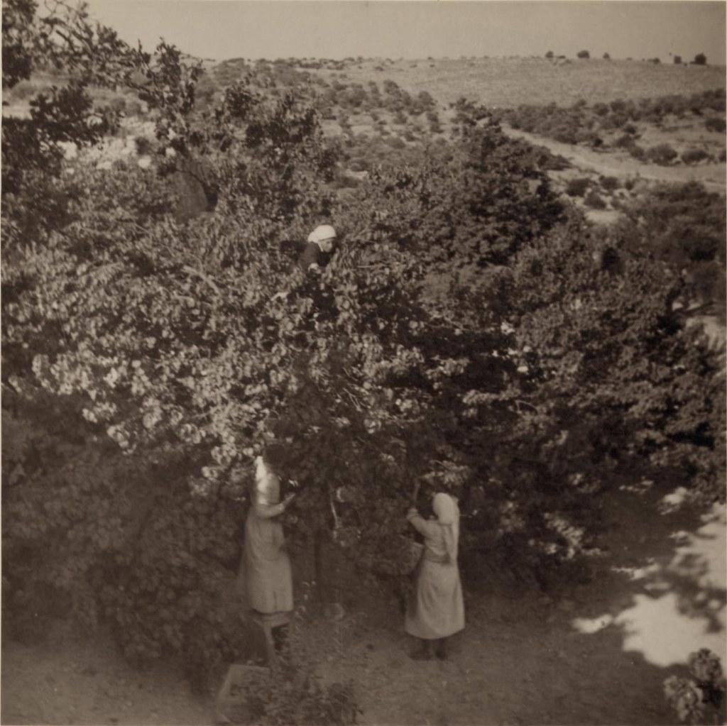 12. 15 июня. Сбор абрикосов в Бейт-Джале