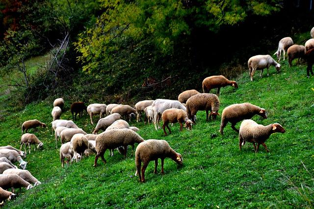 Ovelles a Rocabruna, Vall de Camprodon, Girona