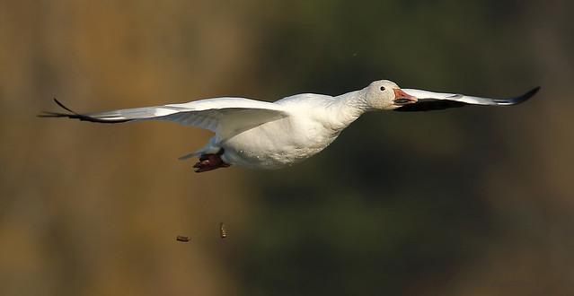 Oie des neiges \ Snow Goose
