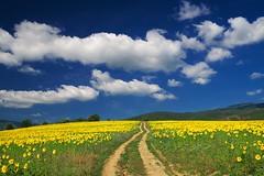Слънчогледи и небе
