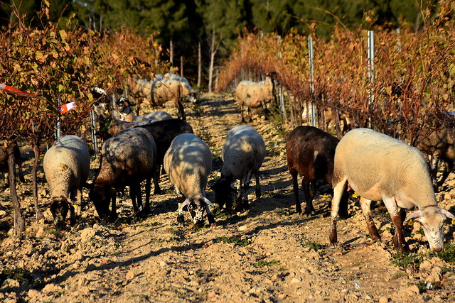 Vinyes de Tardor i ovelles aprofitant l'herba, la Berna Torrelles de Foix.