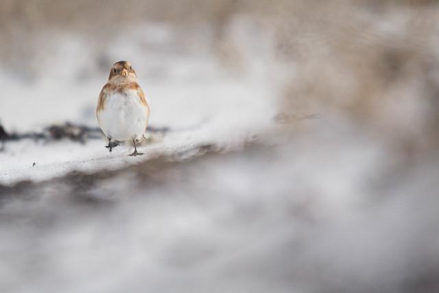 Bruant des neiges femelle (Plectrophenax nivalis)