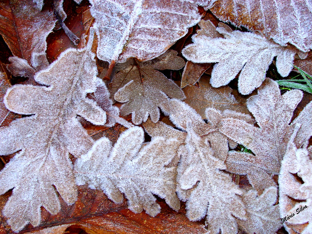 Águas Frias (Chaves) - ... depois de uma noite de geada, as folhas caídas transformaram-se em belas peças de