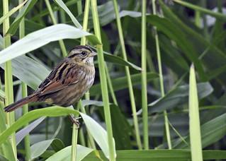For ID (Done): Swamp Sparrow - Bruant des marais - Melospiza georgiana (P9_DSCN0295-1PSE-20180927-denoise)