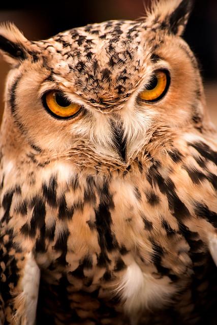 GH Owl 3-0 F LR 11-10-19 J159