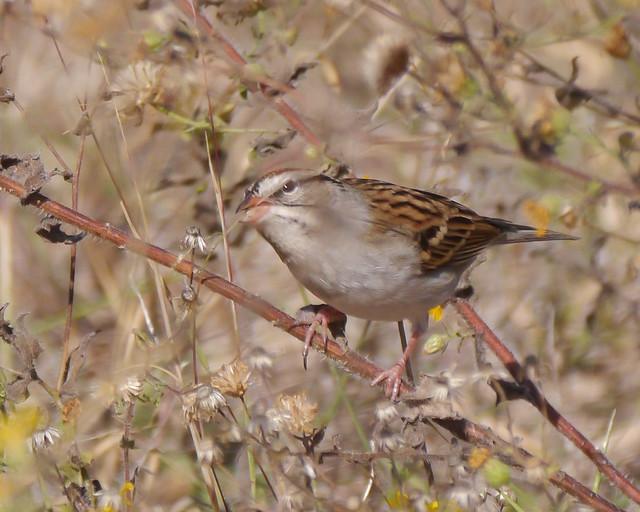Chipping Sparrow - 3